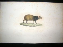 Saint Hilaire & Cuvier C1830 Folio Hand Colored Print. The Agouti